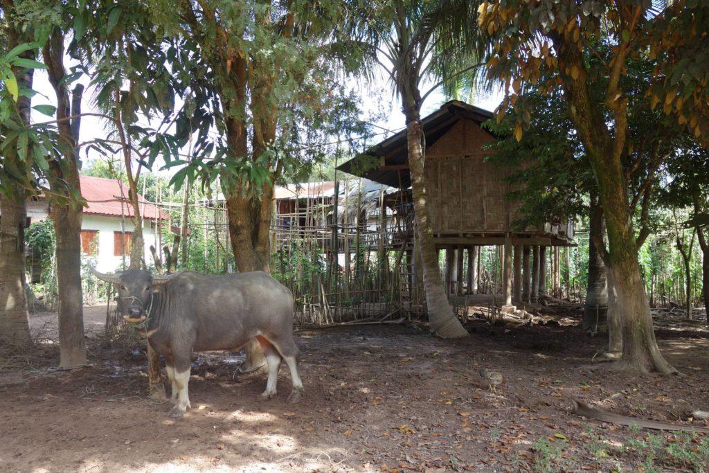 Bawół domowy w wiosce Thong Jai Tai w dolinie Luang Namtha