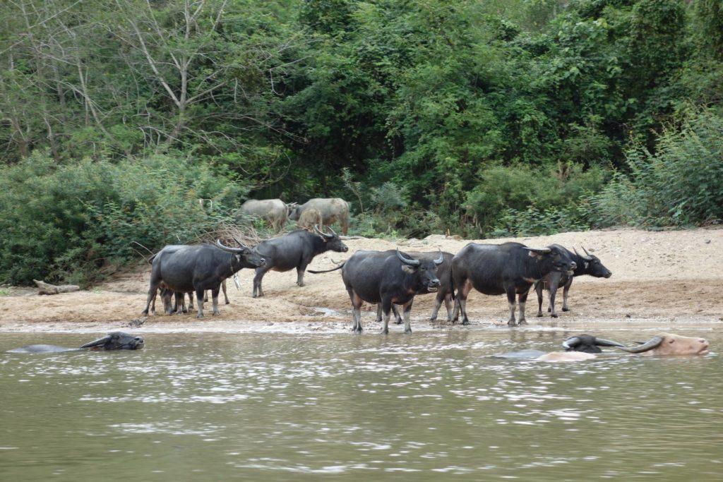 bawo ły domowe w rzece podczas drogi do Muang Ngoi