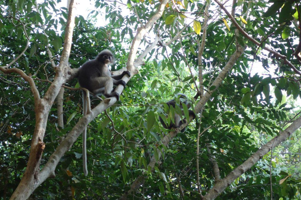 dusky leaf monkey w parku narowodym khao sam roi yot
