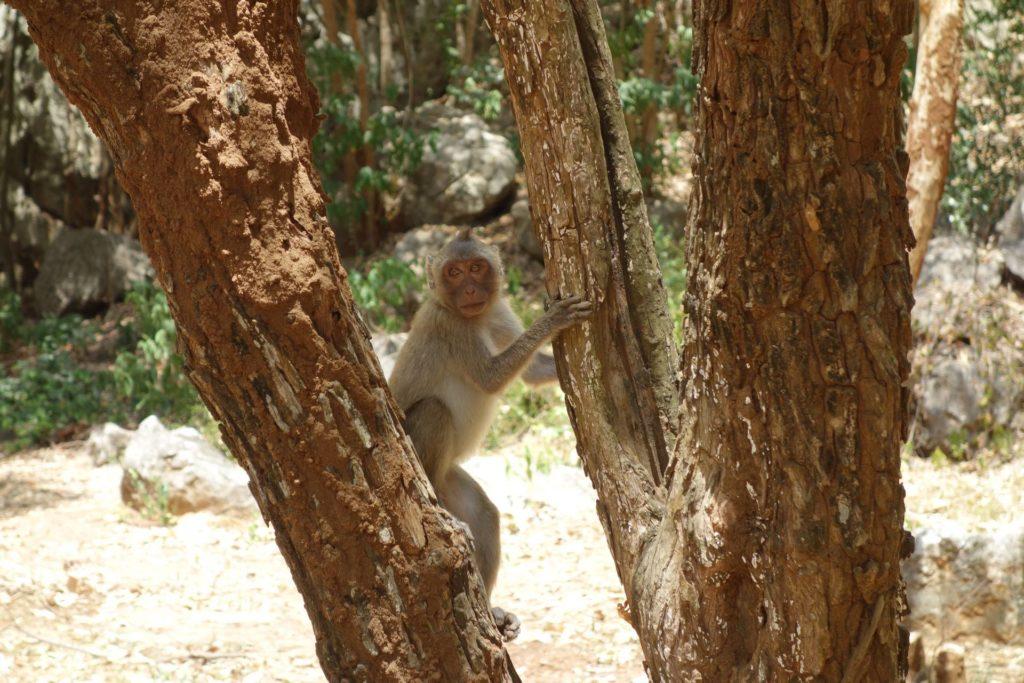 makaki jawajskie w parku narodowym khao sam roi yot