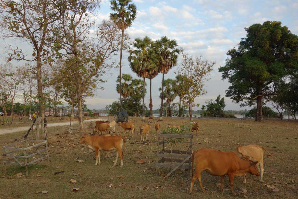 Krowy na wyspie Don Khong Laos